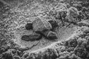 Protect endangered turtles in Kyparissia, Greece
